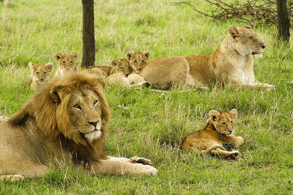 Lion Art Print featuring the photograph It's All About Family by Michele Burgess