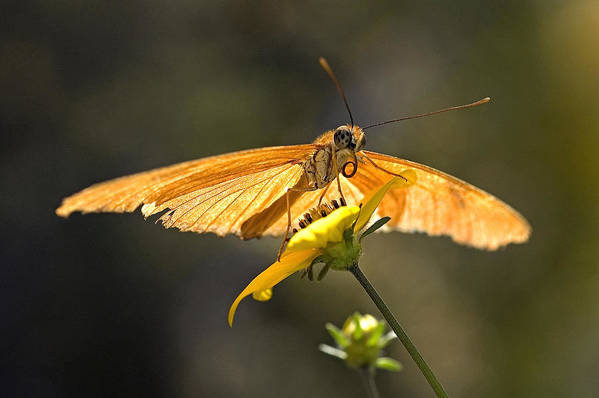 Julia Heliconian Butterfly Butterflies Macro Dryas Iulia Art Print featuring the photograph Julia Heliconian Butterfly by Eyal Nahmias