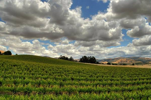Vines Art Print featuring the photograph Livermore Vineyard by Douglas Shier