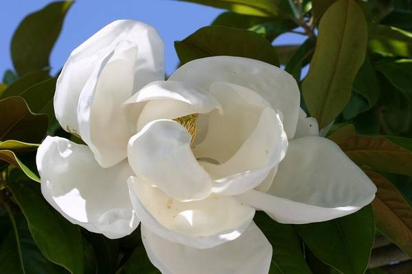 Floral Art Print featuring the photograph Magnolia by Ofelia Arreola