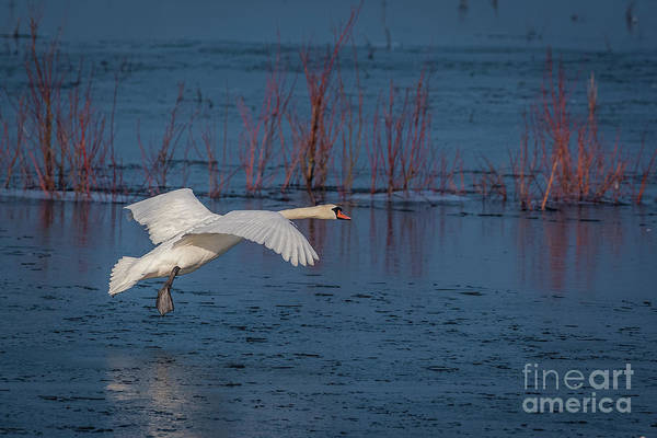 Mute Art Print featuring the photograph Mute Swan In Flight by Philip Pound