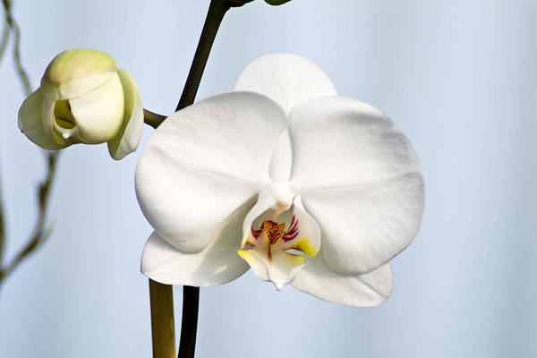 Floral Art Print featuring the photograph Orchid by John Ater