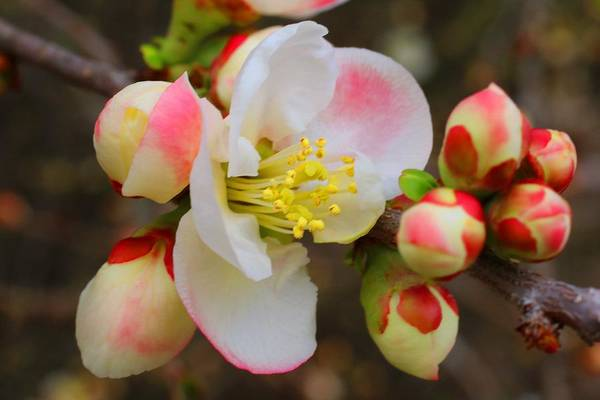 Quince Art Print featuring the photograph Quince Toyo-nishiki by Kathryn Meyer