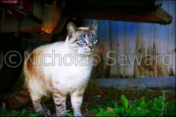 Art Print featuring the photograph Sapphire Eyed Cat by Nicholas Seward