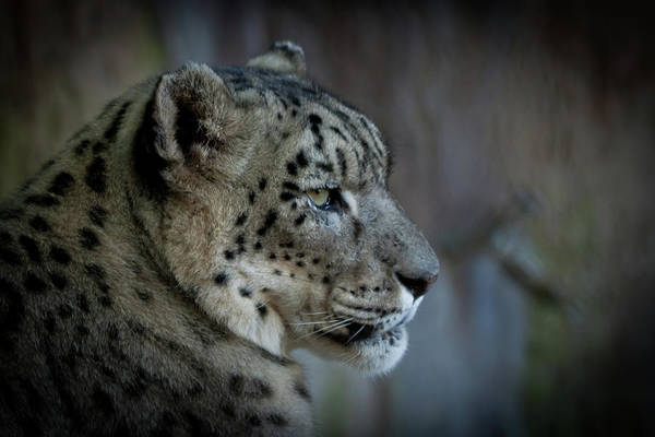 Snow Leopard Art Print featuring the photograph Snow Leopard by Roger Mullenhour