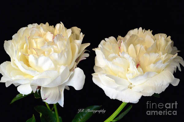 Peonies In Cream Art Print featuring the photograph Peonies In Cream by Jeannie Rhode