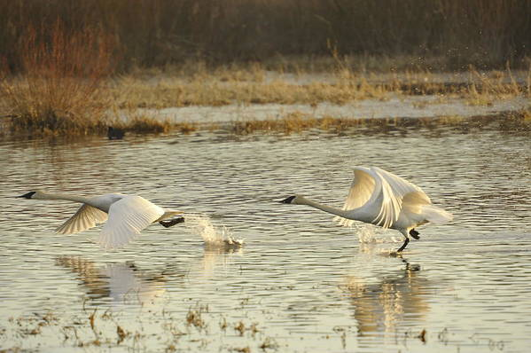 Trumpeter Swans Art Print featuring the photograph 100 Yard Dash 2 by Diane Smith