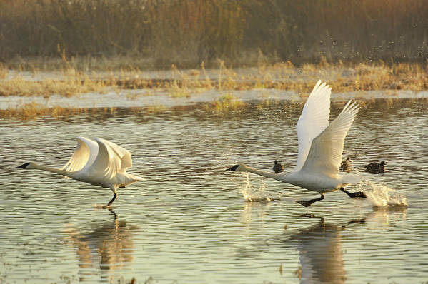 Trumpeter Swans Art Print featuring the photograph 100 Yard Dash by Diane Smith