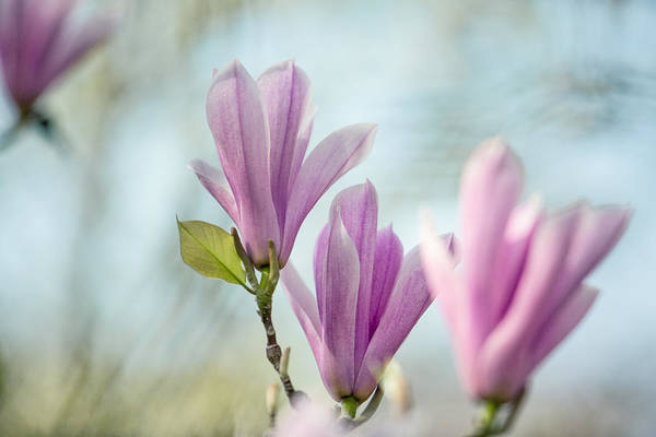 Magnolia Art Print featuring the photograph Magnolia Flowers by Nailia Schwarz