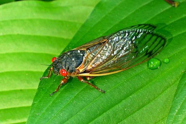 17 Art Print featuring the photograph 17 Year Periodical Cicada by Douglas Barnett
