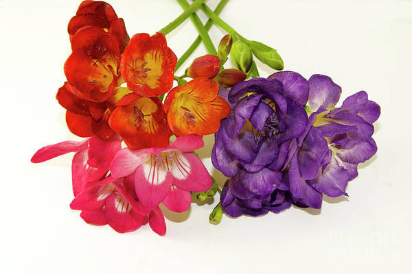 Flowers Art Print featuring the photograph Colorful Freesia by Elvira Ladocki