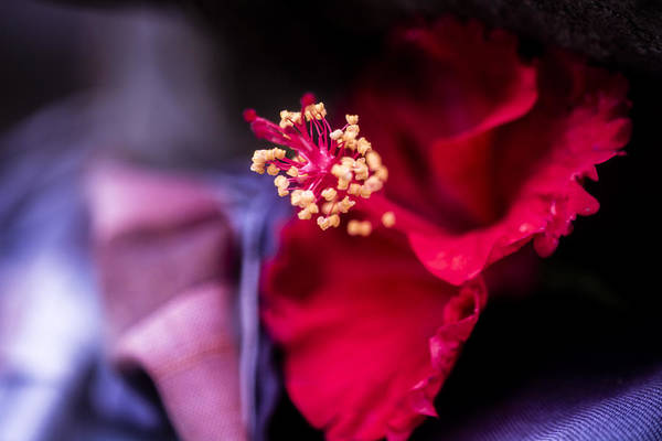 Architecture Art Print featuring the photograph Hibiscus Flower by Jijo George