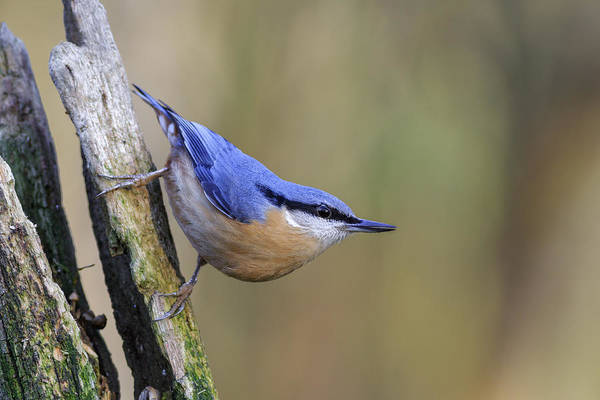 Animal Art Print featuring the photograph Nuthatch -- by Chris Smith