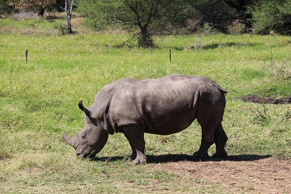 Rhinoceros Art Print featuring the photograph Rhino by FL collection