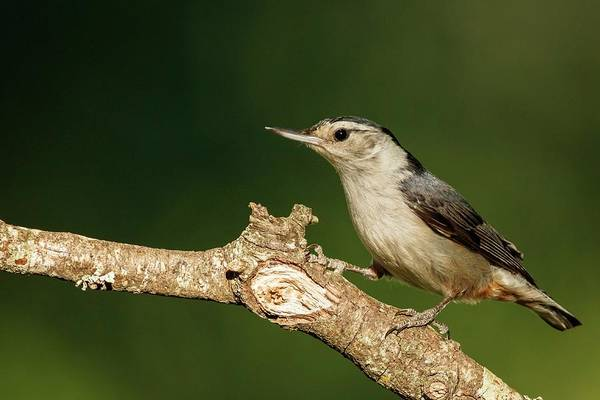 Birds Art Print featuring the photograph White-breasted Nuthatch by Michael Hampton