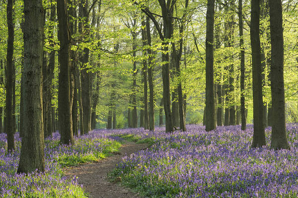 Art Print featuring the photograph Bluebell Wood by Liz Pinchen