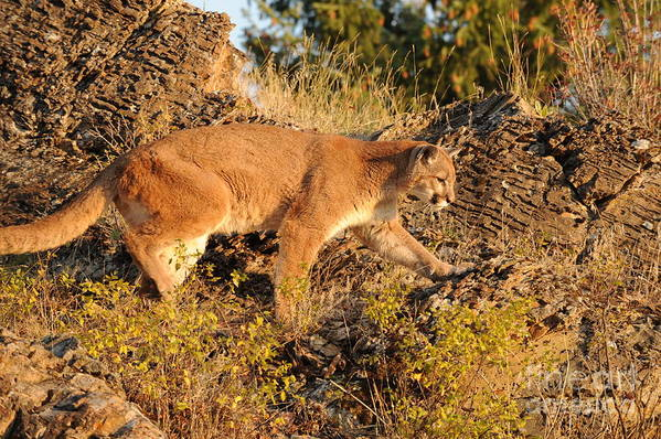 Mountain Lion Art Print featuring the photograph Mountain Lion by Dennis Hammer