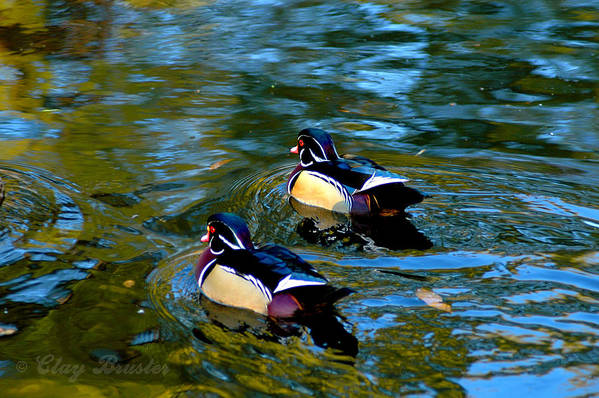 Clay Art Print featuring the photograph Wood Duck by Clayton Bruster