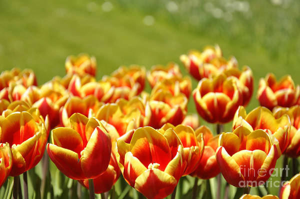 Tulip Art Print featuring the photograph Tulips by LS Photography