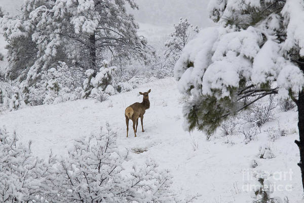 Elk Art Print featuring the photograph Elk In Deep Snow In The Pike National Forest by Steve Krull