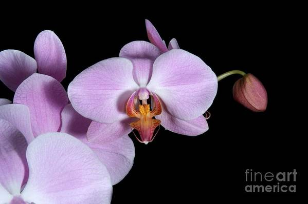 Beauty Art Print featuring the photograph Pink Orchid IIi by Ralf Broskvar