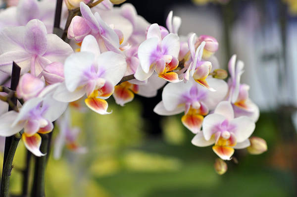 Orchid Art Print featuring the photograph Orchids by LS Photography