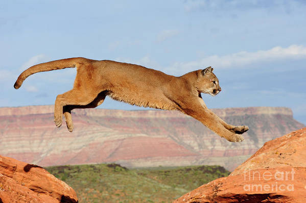 Lion Art Print featuring the photograph Mountain Lion by Dennis Hammer