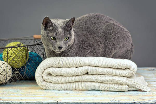 Purebred Art Print featuring the photograph Russian Blue by Nailia Schwarz