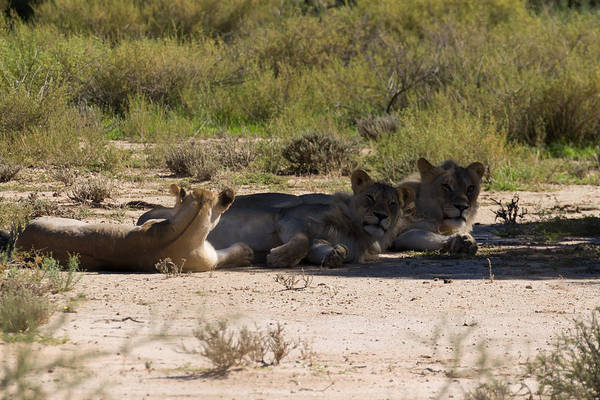 Kgalagadi Art Print featuring the photograph Lions by Davide Guidolin
