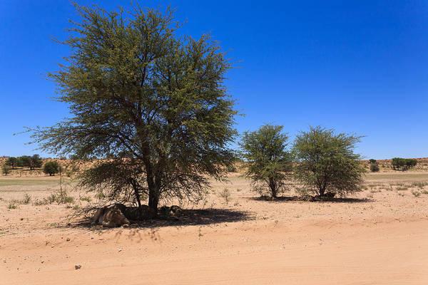 Kalahari Desert Art Print featuring the photograph Lions by Davide Guidolin