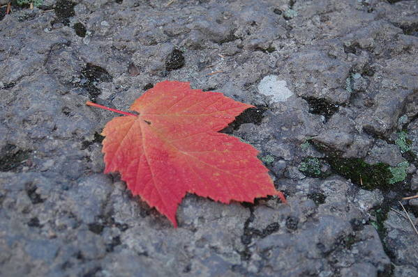 Leaf Art Print featuring the photograph Untitled by Kathy Schumann