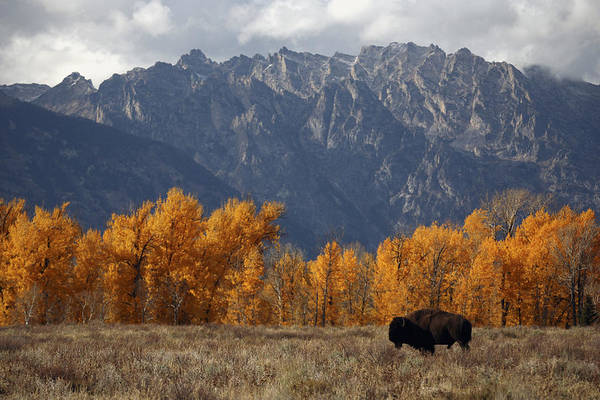 Outdoors Art Print featuring the photograph A Buffalo Grazing In Grand Teton by Aaron Huey
