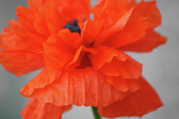 Art Print featuring the photograph A Burns Poppy by Marie Lassell