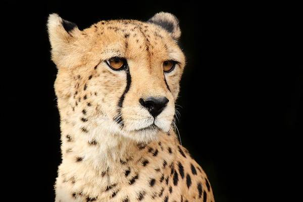 Cheetah Art Print featuring the photograph A Cheetah Named Jason by Christopher Miles Carter