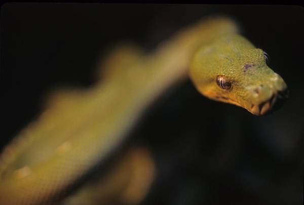 District Of Columbia Art Print featuring the photograph A Curious Immature Green Tree Python by Taylor S. Kennedy