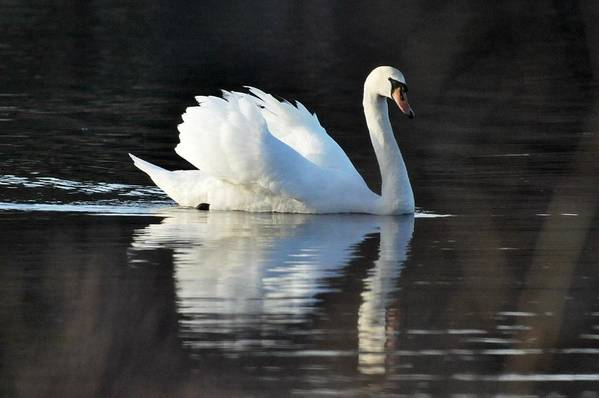 Swan Art Print featuring the photograph A Happy Swan by Jo-Ann Matthews