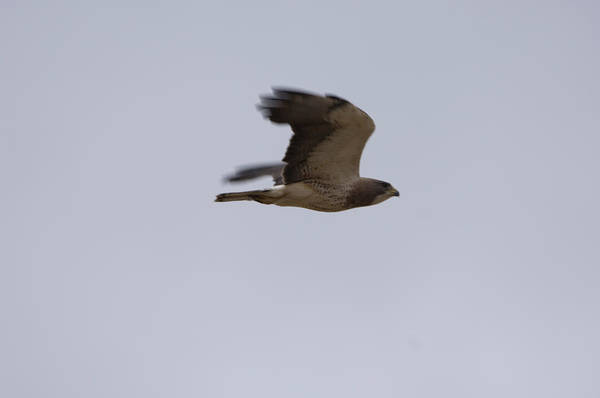 Photography Art Print featuring the photograph A Hawk Near The Charles M. Russell by Joel Sartore