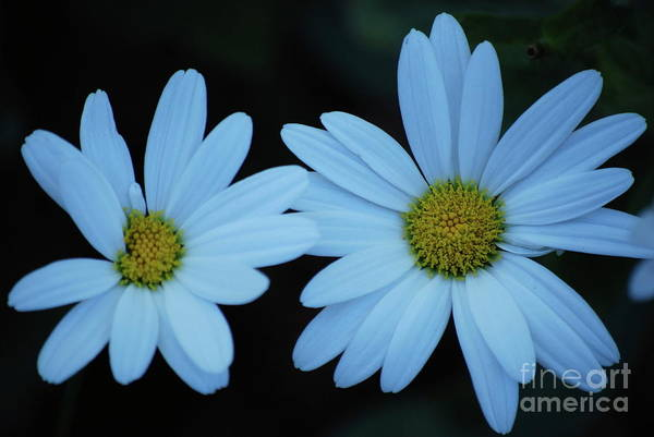 Daisy Art Print featuring the photograph A Pair Of Daisies by Lori Tambakis