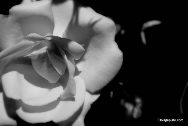 Flower Art Print featuring the photograph A Rose by Lois Lepisto