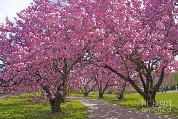 A Walk Down Cherry Blossom Lane Art Print featuring the photograph A Walk Down Cherry Blossom Lane by Cindy Lee Longhini