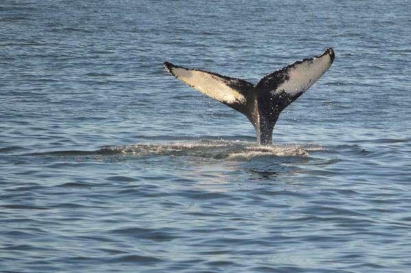 Whale Art Print featuring the photograph A Whale Of A Tail Bar Harbor by Lena Hatch