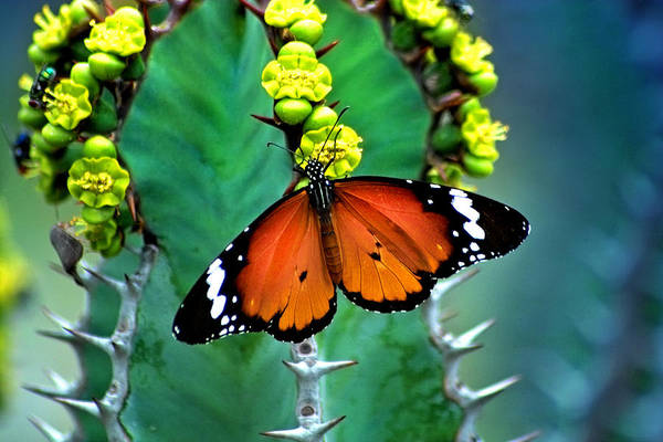 Butterfly Art Print featuring the photograph African Monarch by Robert Lacy