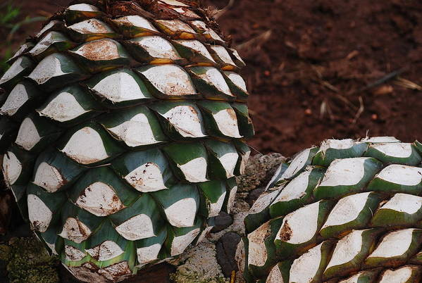 Agave Art Print featuring the photograph Agave Pineapples by Juan Gnecco