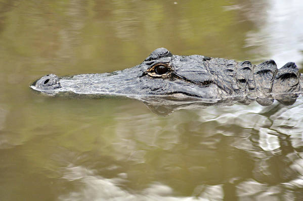 Alligator Art Print featuring the photograph Alligator Stealth by John Hughes