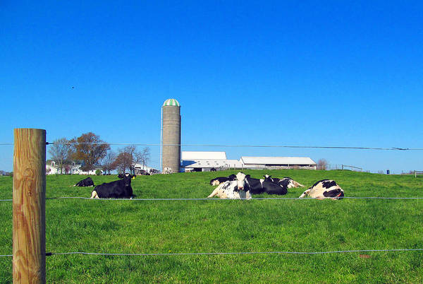 Cows Art Print featuring the photograph All Is Well In The Farmland by Tina M Wenger