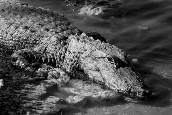 Alligator Art Print featuring the photograph Alligator by Lita Kishbaugh