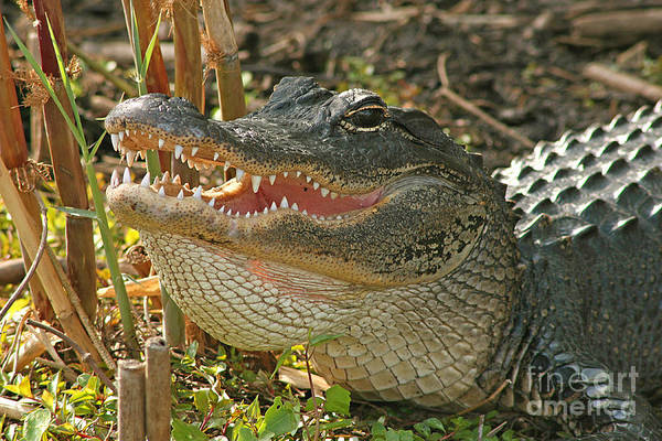 Alligator Art Print featuring the photograph Alligator Showing Its Teeth by Max Allen