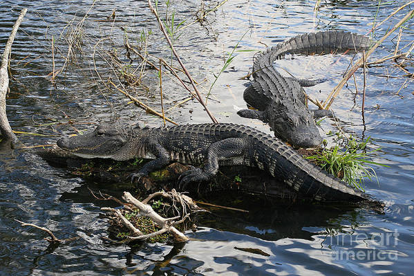 Alligator Art Print featuring the photograph Alligators In An Everglades Swamp by Max Allen