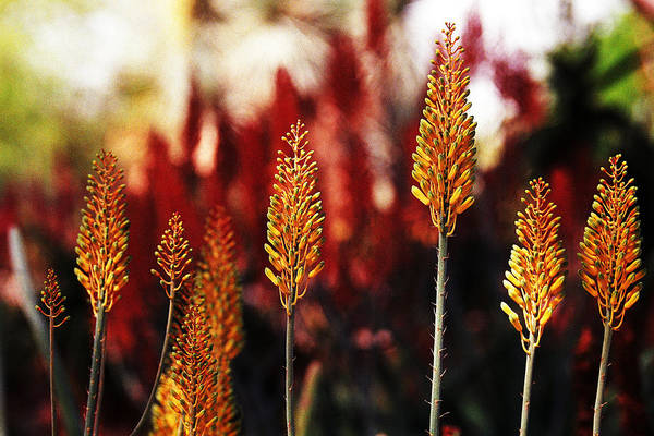 Aloe Art Print featuring the photograph Aloe Blossoms by Richard Henne
