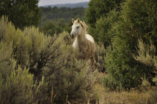 Wild Horses Art Print featuring the photograph Alone In The Sage by Jim Earle